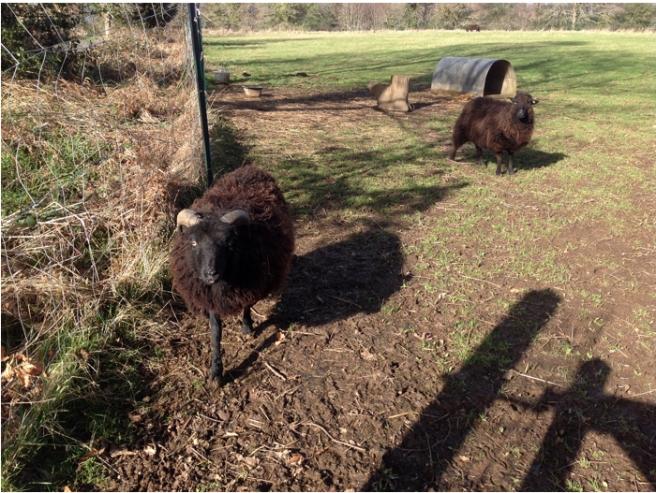 sheepsies